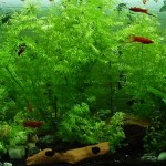 有茎水草の茎からヒゲ根(気根)が生えてくる原因と対策