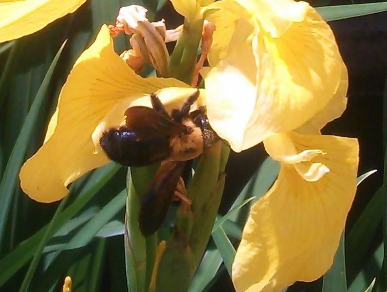 菖蒲(あやめ)満開になりました&菖蒲の蜜を集めるクマバチのオスの写真