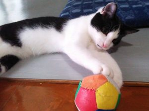 白黒ハチワレ猫【モモ】を保護して丸4か月になりました