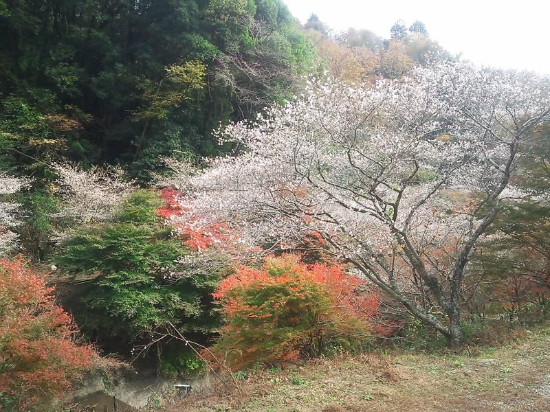 今年の紅葉に四季桜はどうですか?