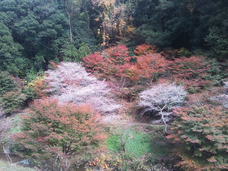 小原四季さくらと紅葉の画像|Ordinary Life