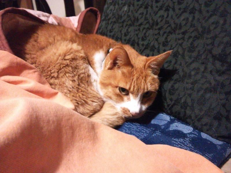 すっかり我が家の一員になった茶白猫【茶くん】の写真と動画