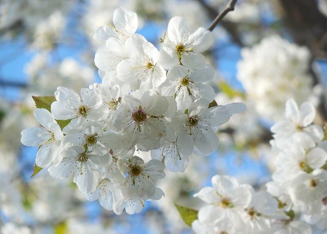 名古屋で桜(ソメイヨシノ)の開花が発表されました ~春到来~