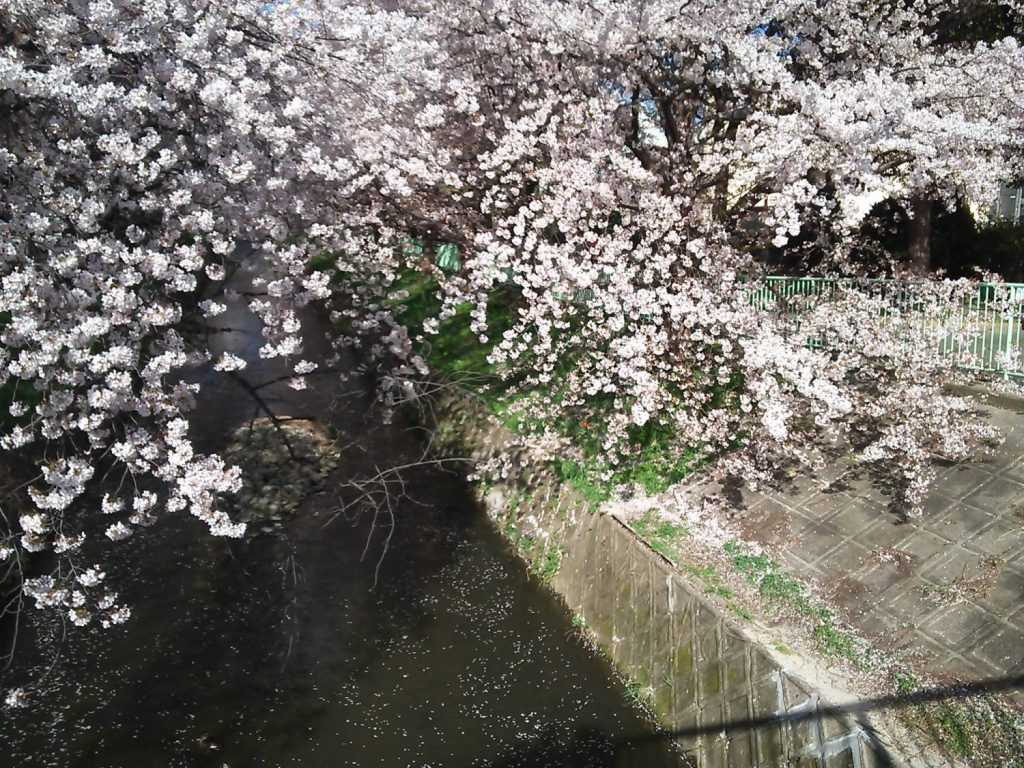 近所の桜 2018 ~今年は散るのが早すぎ?~