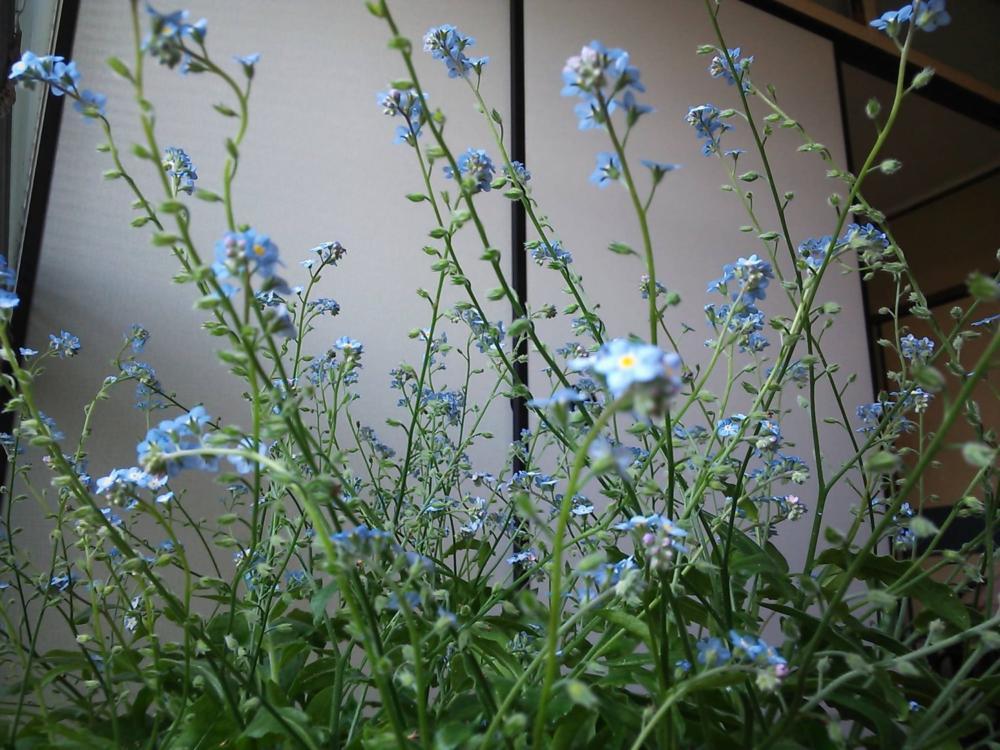 こらっ、モモ君!!青から紫に変化、証拠写真。