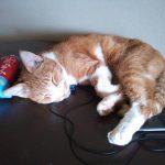 猫、慢性腎臓病治療薬が開発中・・・・