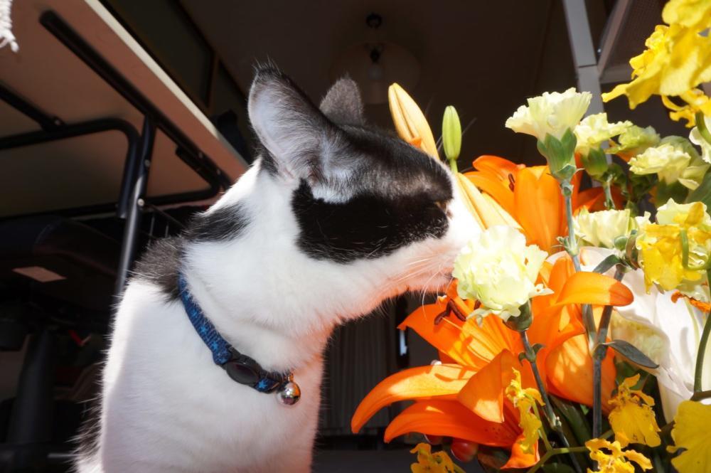 猫に、ユリの花は死に至る!!