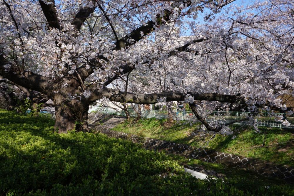 視差効果で見る桜の写真