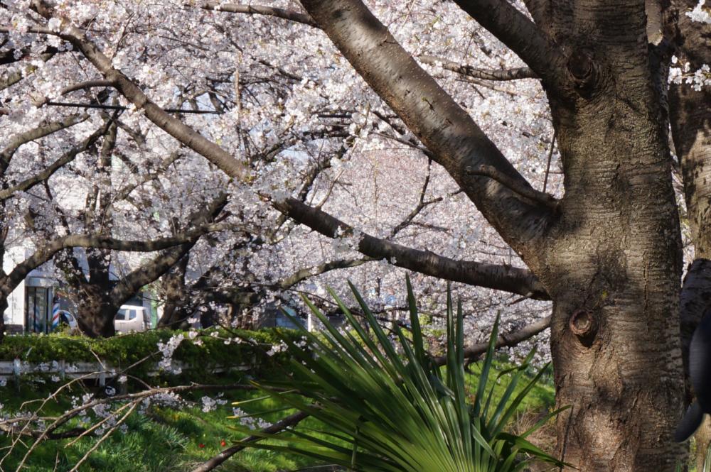 視差効果で見る桜の写真の画像|Ordinary Life