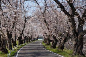 【桜】名古屋市西区の『蛇池公園』へ行ってきました