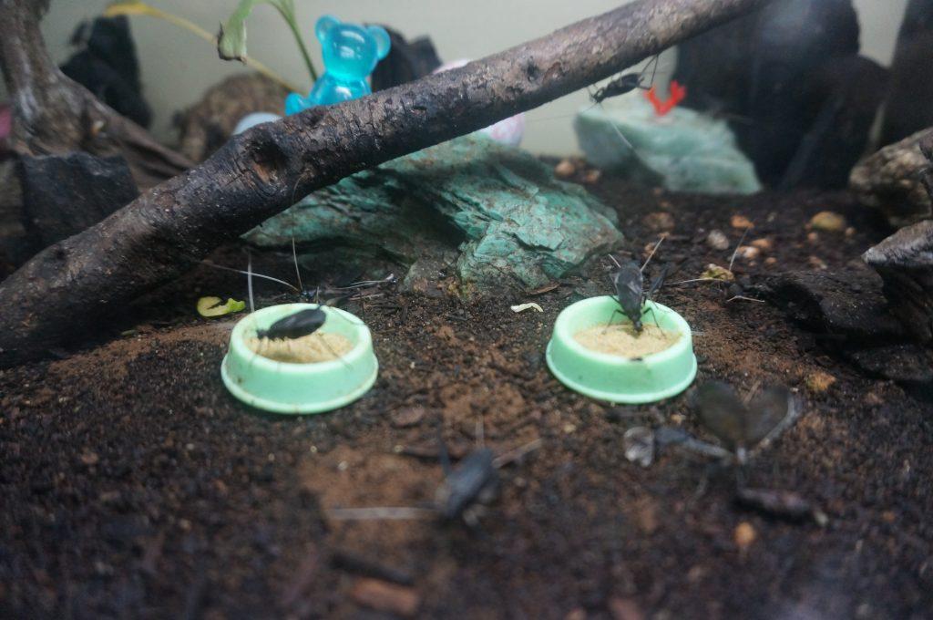 今年はいっぱい孵った、鈴虫くんたちの幼虫動画(閲覧注意)