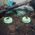 今年はいっぱい孵った!!我が家の鈴虫たちの動画