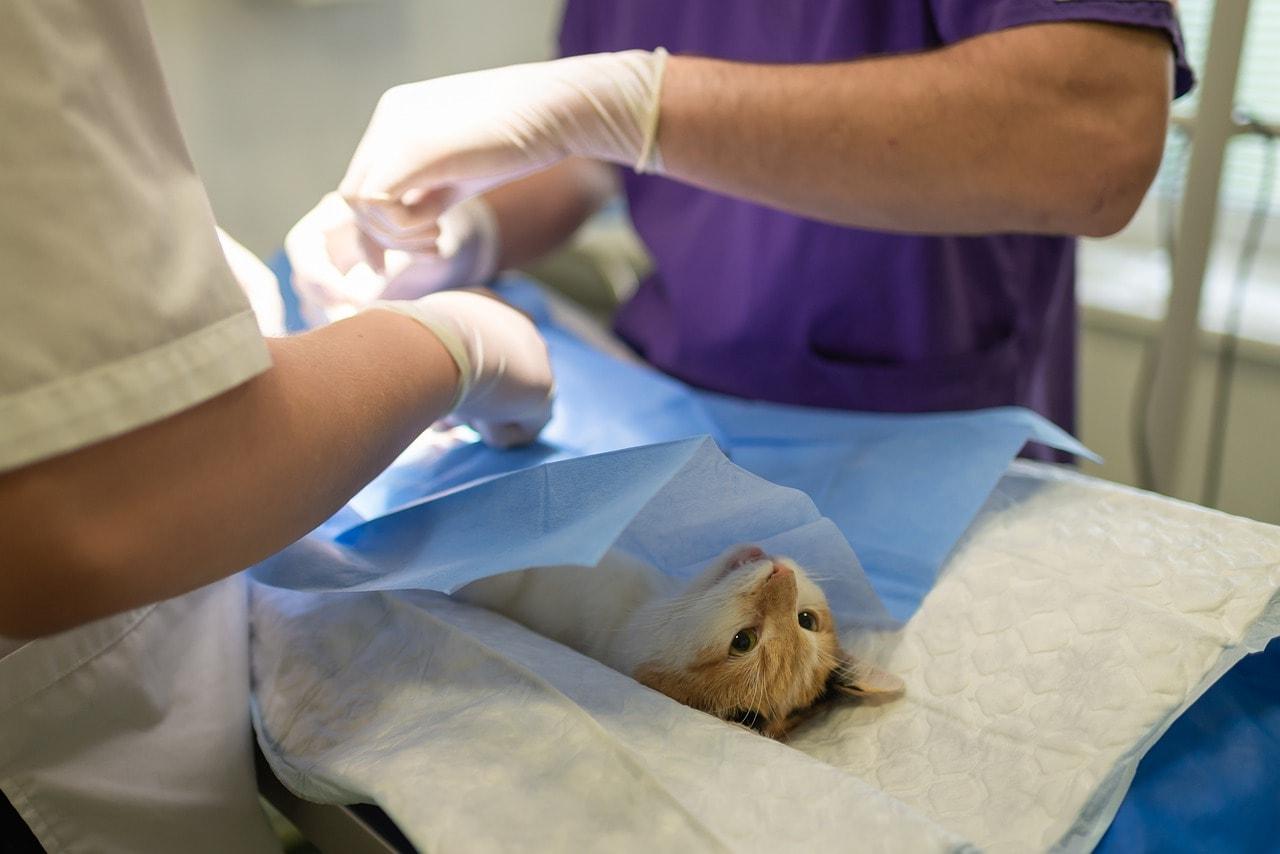 猫にとって不治の病、FIP(猫伝染性腹膜炎)を治す新薬!?